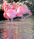 Probably Caribbean Flamingo