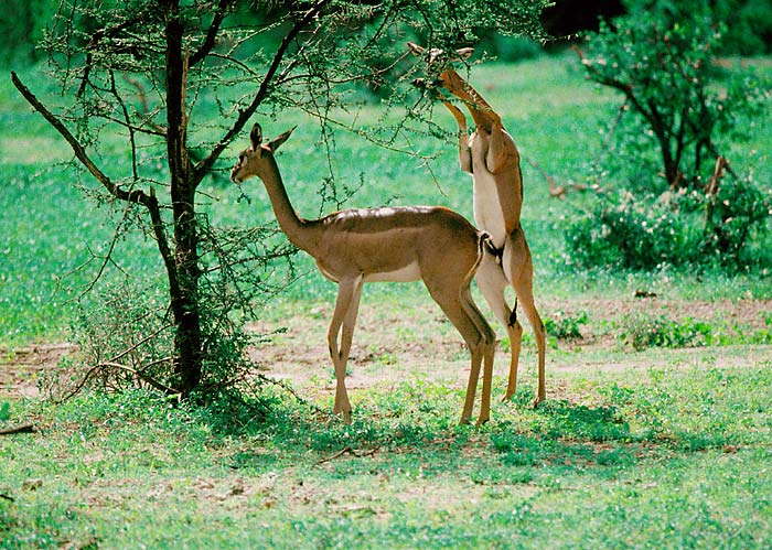 a picture of a gazelle